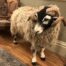 Swaledale ram at The house at Hawes